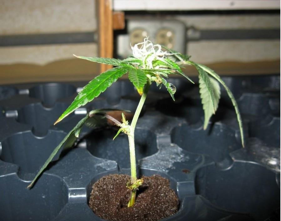 Image Result For Autoflower Light Cycle Autoflowering Cannabis Blog