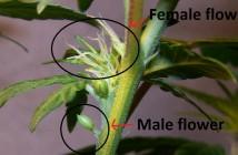 Cannabis Seedling Life cycle