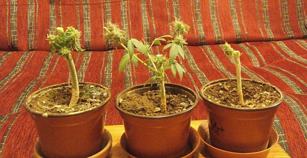 Autoflower pot sizes