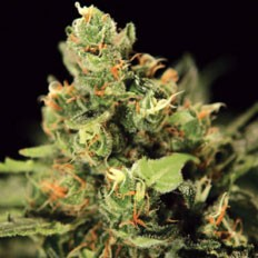 green-house-seeds-big-bang-autoflowering