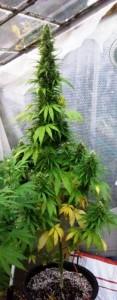 super autoflowering plant