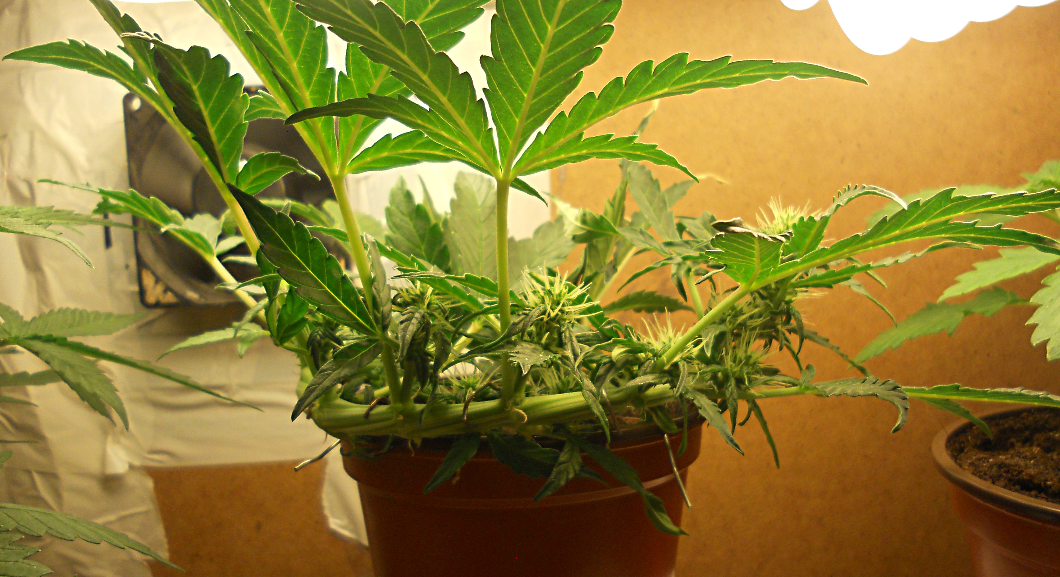 All about autos: an autoflowering grow guide - Growers ...