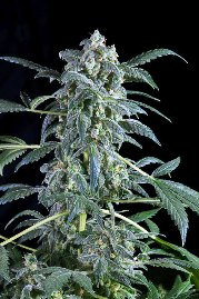 Original_Amnesia_from_Dinafem_seeds
