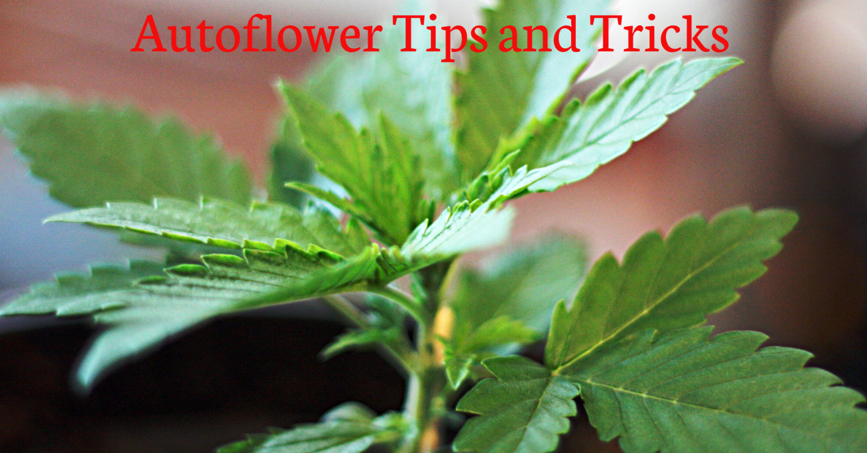 Autoflower Tips And Tricks on Pre Plant Life Cycle