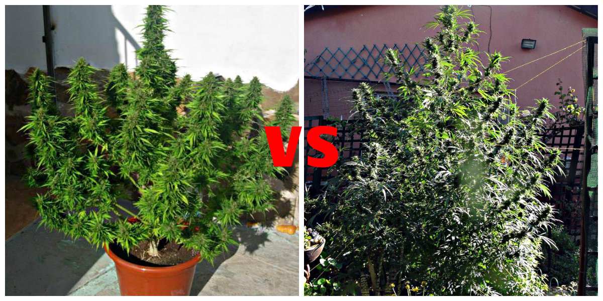 Autoflower Tips And Tricks Autoflowering Cannabis Blog