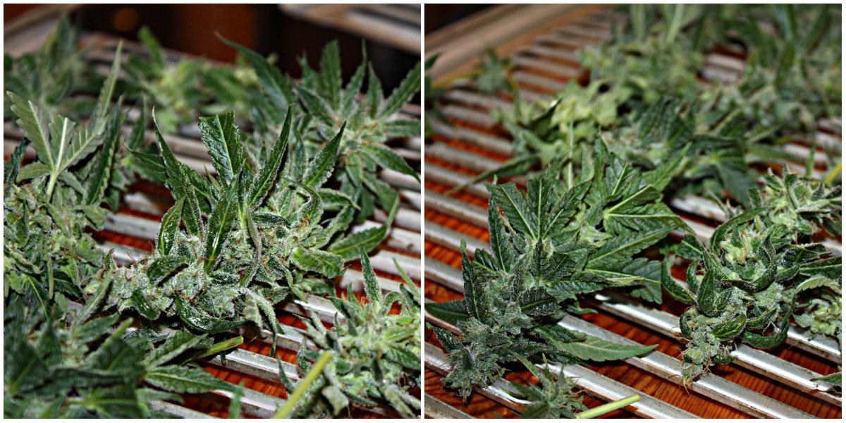When to Harvest autoflowers – Harvest Guide! - Autoflowering