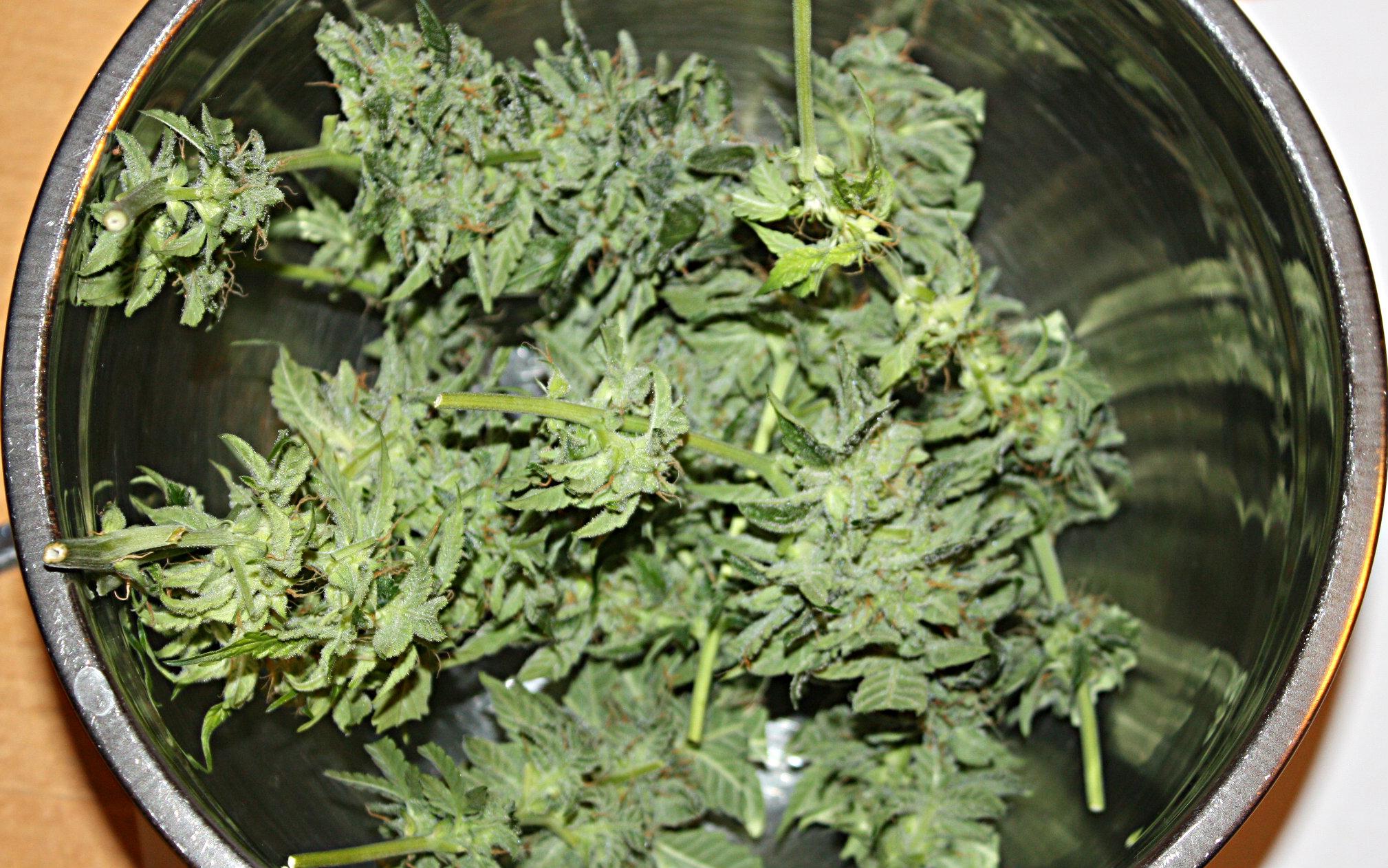 When To Harvest Autoflowers Harvest Guide Autoflowering
